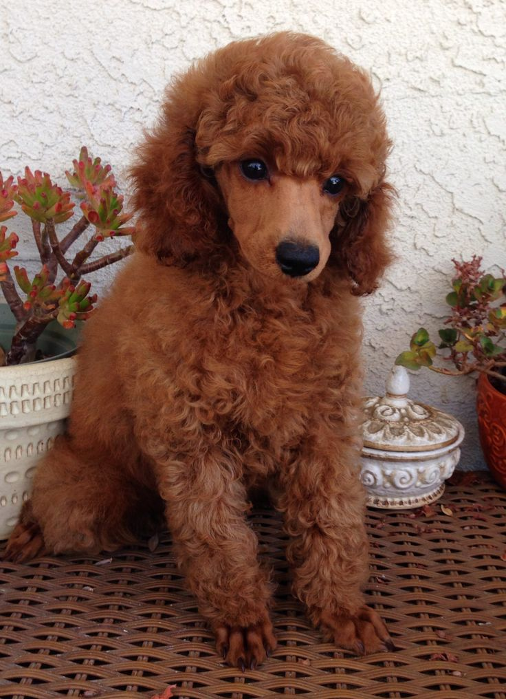 Red mini poodle puppy at west coast poodles