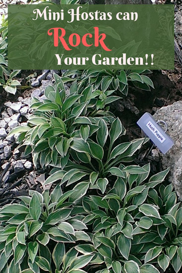 Small And Mini Hostas Are As Versatile As They Are Adorable Here