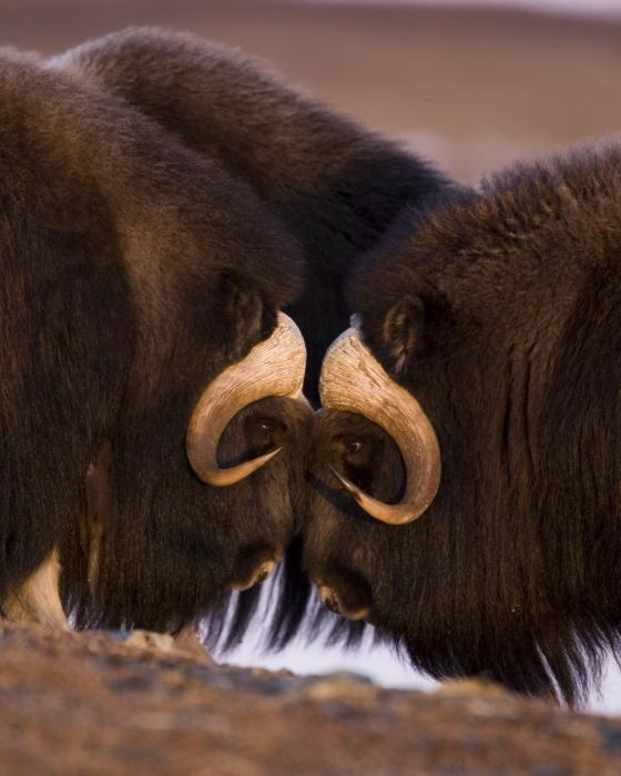 ~~ Musk Ox - Eye to Eye ~~ A close knit family!! it's probably very cold at the moment!!