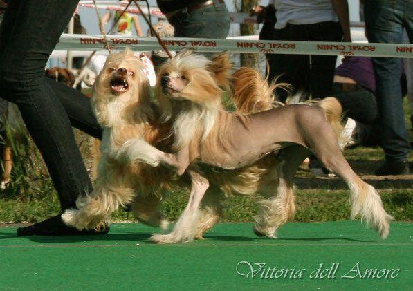 смешные фото китайских хохлатых собак