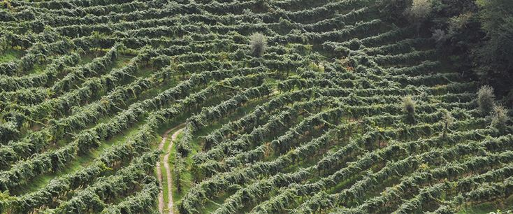 Our vineyards are all on steep slopes where it's even a job to stand upright without falling... but the quality of the grapes repays the hard work.