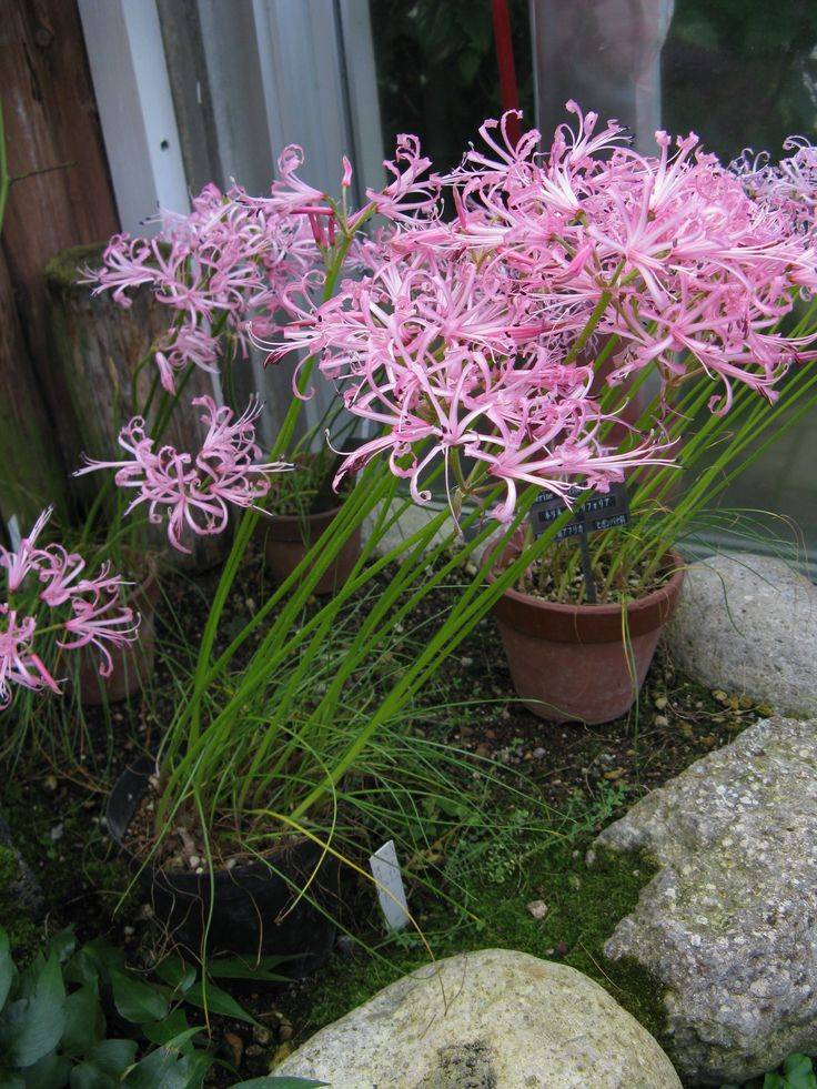 Profusion of flowers in Nerine filifolia [Family: Amaryllidaceae] - Note the filiform leaves of this species.