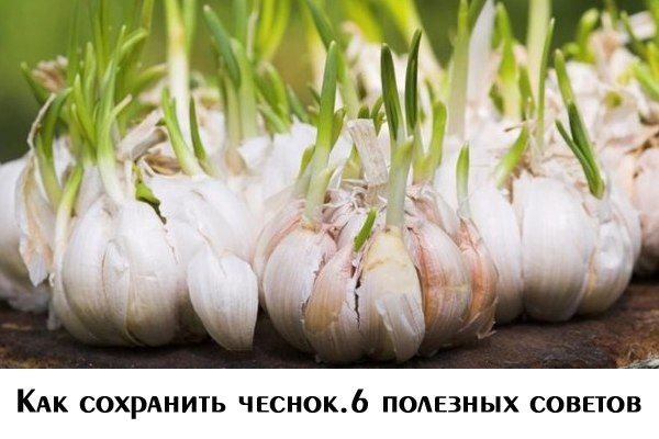 Как сохранить чеснок. 6 полезных советов  После уборки чеснока многие огородники сталкиваются с проблемой: как же сохранить урожай до весны. Узнайте, где и как правильно хранить #чеснок.  1. Чеснок убираю в середине июля. Лучше всего для уборки урожая подходит ясная #погода утром. Выдергиваю луковицу за стволик с остатками листьев. Если луковица не вырывается легко, подкапываю ее лопатой.  2. После этого чеснок оставляют на грядке для провяливания. Вечером этого же дня отряхивают с корней…