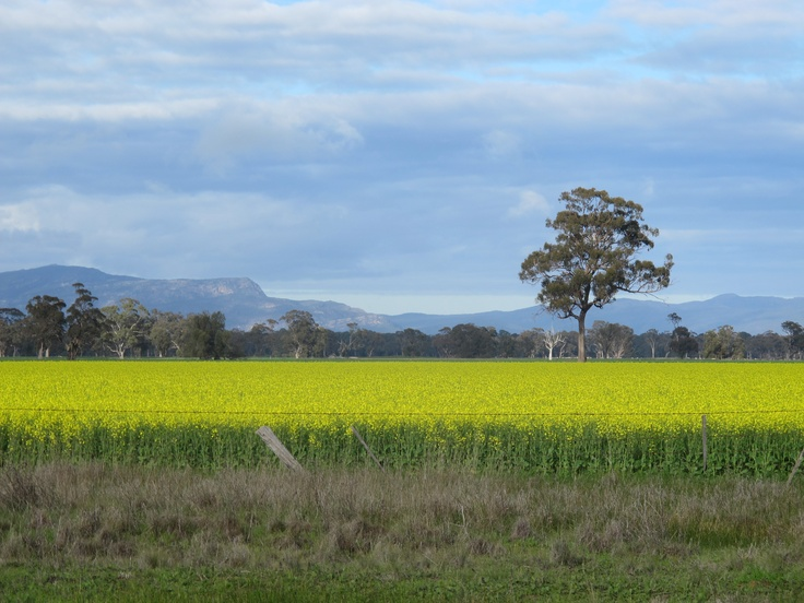 Love this great Australian landscape of home. The Golden Canola lines the Lubeck-Murtoa Rd, the Grampians provide a familiar backdrop.