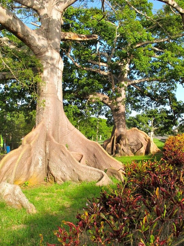 Ceiba  trees in the town of Quebradillas,Puerto Rico.These trees are over 200 years old.