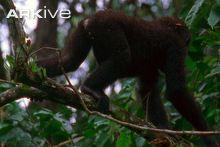 Western lowland gorillas climbing