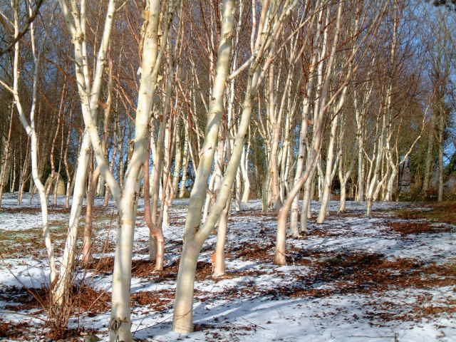 9 best winter birch images on pinterest forests nature and birch winter at stone lane gardens workwithnaturefo