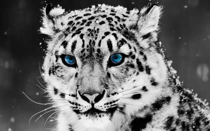 snow leopard, animal