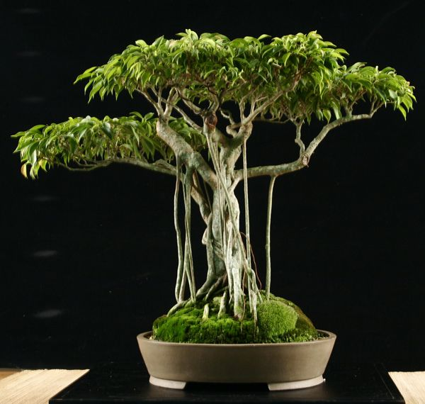 bonsai ficus benjamina plants pinterest. Black Bedroom Furniture Sets. Home Design Ideas