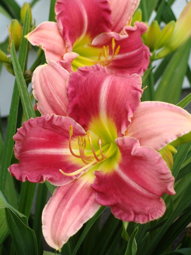 Stolen Treasures daylily