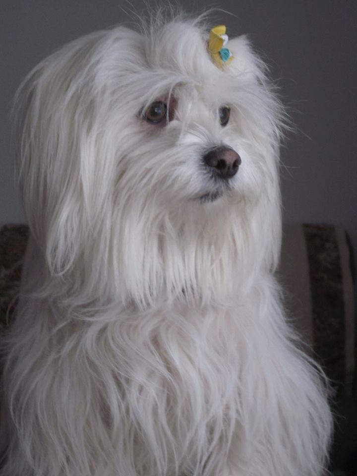 maltese havanese 182 best havanese maltese collie images on pinterest 7175