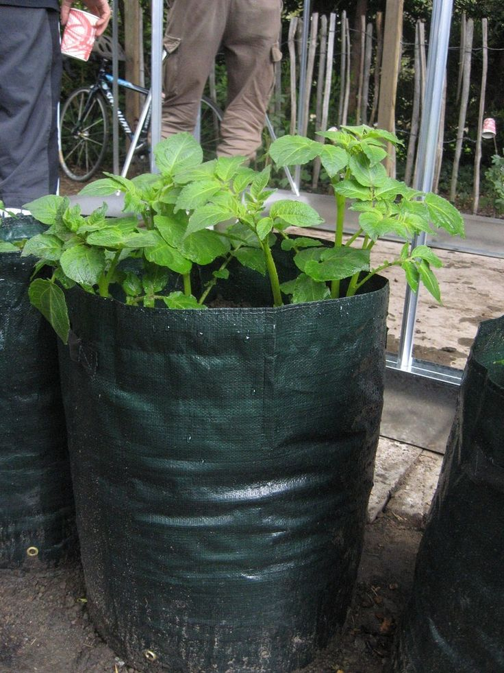 Gardeners traditionally hill potatoes but this method takes up space. Grow bags for potatoes are an excellent solution for patio or small space gardeners. Learn more about planting potatoes in bags here.