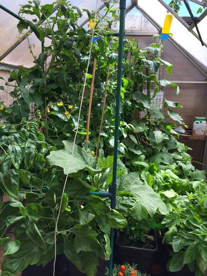 Fattoush Salad in addition Embu Farmer Finds Riches Growing Tree Tomato Grafted Indigenous Tree Known Muthakwa besides Stock Photography Cherry Tomato Image24173962 in addition Tomato Seedlings In Greenhouse After also Garlic And Perennial Onion Growing Guide Ezp 29. on growing tomatoes