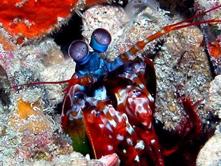 Galeria Underwater.pl - Odontodactylus scyllarus (Linnaeus 1758)