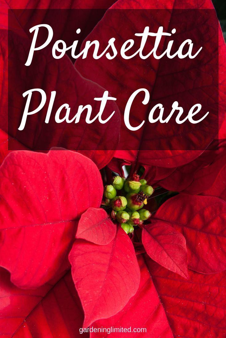 Poinsettia Plant Care For The Holidays Poinsettia Plant Plant