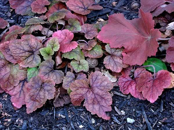 heuchera y tiarella plantas de sombra