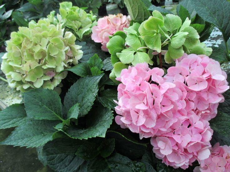 Hortenzie - růžová barva.