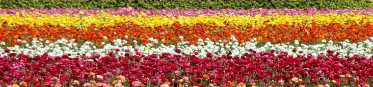 beautiful flower fields in carlsbad, ca better see them before they are gone