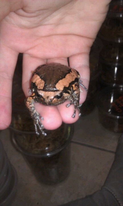 Chubby frog care topic simply