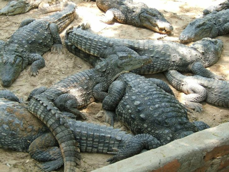 Chennai - The Chennai Crocodile Bank is located about 44 Km from the Chennai city. It houses several species of Indian and African crocodiles and alligators with their natural environment in open pools. It was set up to increase the crocodile population of the wildlife sanctuaries in India.