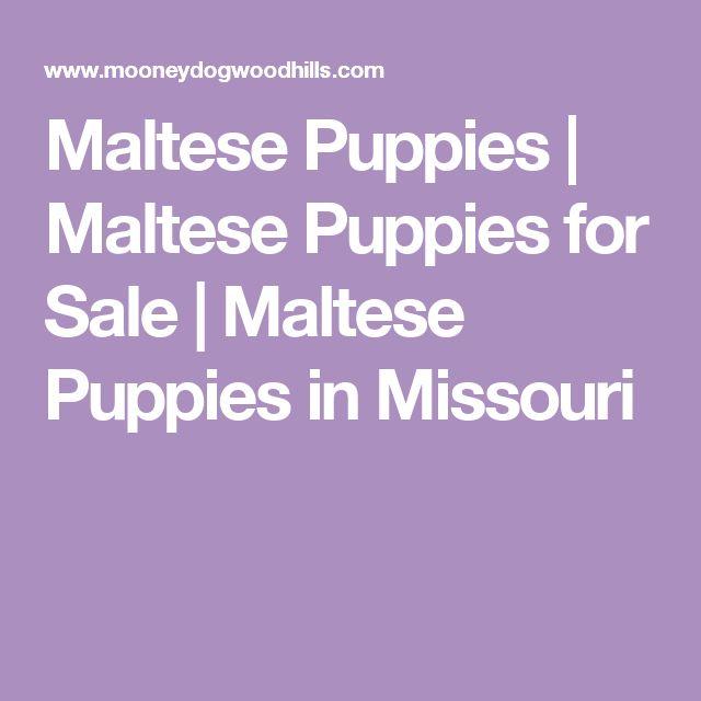 Maltese Puppies | Maltese Puppies for Sale | Maltese Puppies in Missouri