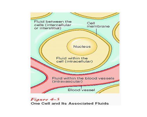 intervascular interstitial | Intracellular Fluid and Extracellular Fluid