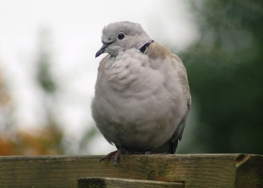 British garden birds - Collared dove