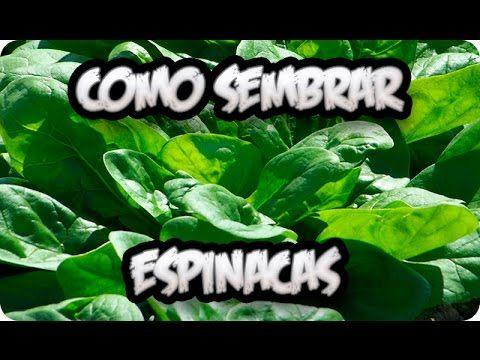 Como Sembrar Espinacas En El Huerto || Cultivos || La Huertina De Toni - YouTube