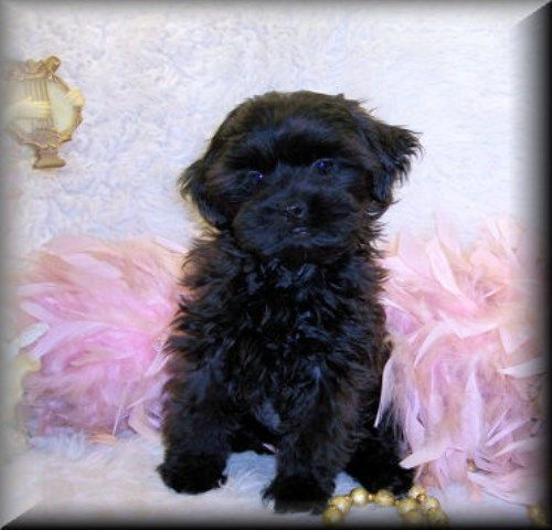 Shih Poo Shih Poo Puppies For Sale Mississippi Shih Poo Puppies