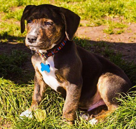 Samson the Boxer /Labrador Retriever