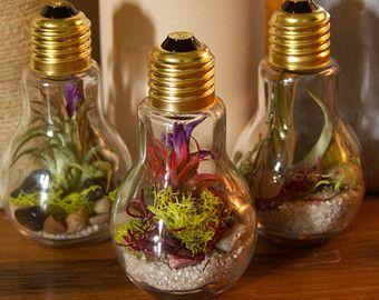 light bulb terrarium trio (3pc) including 3 different airplants, 4 different mosses
