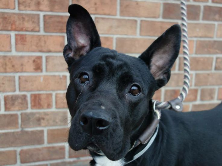 TO BE DESTROYED 1/3/14 Brooklyn Center -P  My name is ALOHA. My Animal ID # is A0988365. I am a female black and white black and chow chow mix. The shelter thinks I am about 2 YEARS old.  I came in the shelter as a STRAY on 12/28/2013 from NY 11208, owner surrender reason stated was STRAY.  https://www.facebook.com/photo.php?fbid=733512876661594&set=a.611290788883804.1073741851.152876678058553&type=3&theater