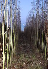 """""""Grow [our] own firewood-- willow is a pretty amazing tree."""" -Center for Deep Ecology pass on"""