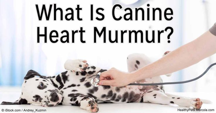 A heart murmur can be caused by abnormal blood flow within the heart. Know more about canine heart murmur symptoms and treatment. http://healthypets.mercola.com/sites/healthypets/archive/2016/05/04/dog-heart-murmur.aspx