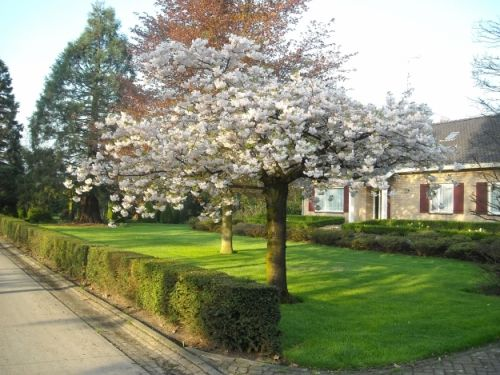 Prunus serrulata 'Shogetsu' #flowering #tree #trees www.vdberk.co.uk