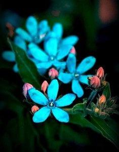 Tweedia in True Blue
