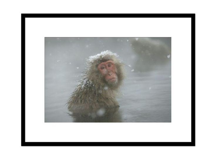 Macaque japonais, Shiga Kogen, Japon.  ©️ SYLVAIN CORDIER- Hemis Galerie