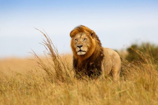 Lions endangered species list | govt adds lions to Endangered Species list to cut down on trophy hunting...Yes!!