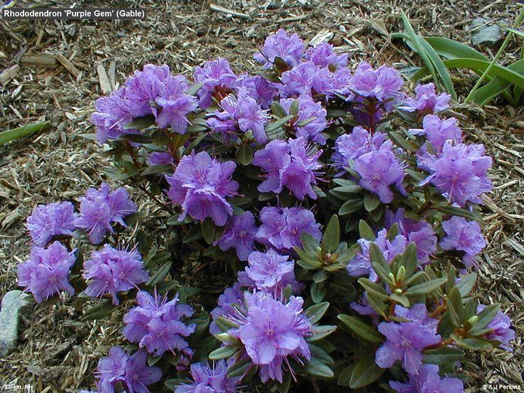 Rhododendron 'Purple Gem', zone 4-8, dense-growing, dwarf evergreen shrub. 2 ft high, 3 ft spread.