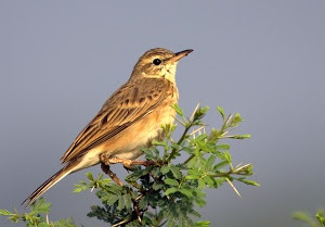 Paddyfield pipit by Prasanna Bhat - singing on a tree Click on the image to enlarge.