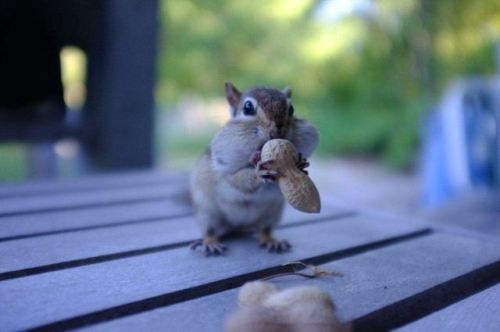 Squirrels: Peanut, Animal Collection, Animal 3, Cutest Chubby, 21 Chubby, Cutest Things, Chubby Chipmunks, Chipmunks Cheeks, Animal Chipmunks