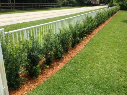 Podocarpus Hedge Before And After Garden Podocarpus