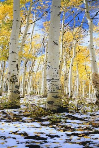Birch tree forest in Michigan:  Bright yellow, Bright blue, white, light brown.