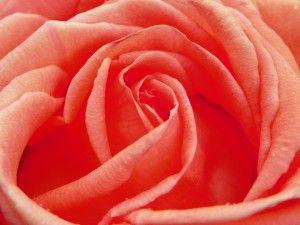 la assoluta di rosa  http://www.shoplife.it/bellezza/profumo-perfetto-rosa/