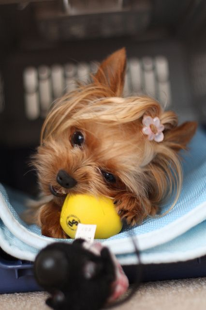 1/31/16 Hi Karine' This cute little Yorkie is already in her kennel and ready to…