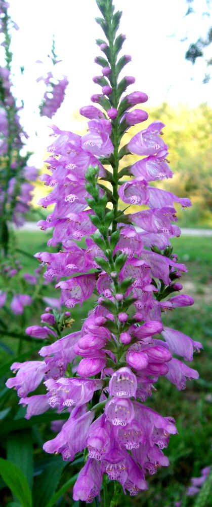 Obedient Plant (Physostegia virginiana) wildflower - Full sun to light shade, 24-48 in. tall.