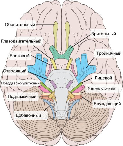 Brain human normal inferior view with labels ru.svg