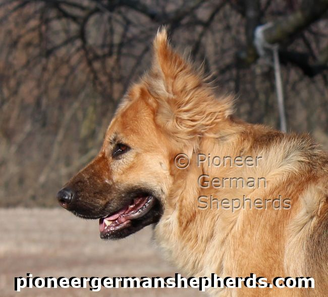 Head of long coat female large German Shepherd