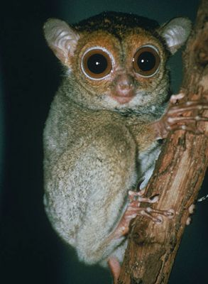 Horsfield's tarsier, also known as the western tarsier, is a species of tarsier. It occurs on Borneo, Sumatra and nearby islands. It is the only member of the genus Cephalopachus.