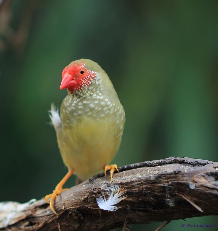 Ey, what are you staring at!!     Star Finch by Eva Lechner, via 500px